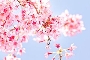 梅・桜・桃
